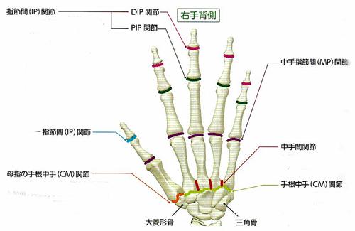 節 中 関節 手指